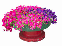 Petunias in pot Royalty Free Stock Images