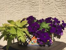 Petunias and potato plant Royalty Free Stock Photos