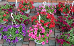 Petunias in pots for the garden Royalty Free Stock Photography