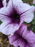 Petunias purpúreas claras Imagenes de archivo