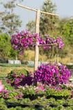 Petunias Stock Image