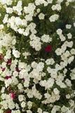 Petunias rojas y blancas florecientes Foto de archivo