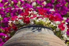 Petunias rojas y blancas que crecen hacia fuera del pote Imágenes de archivo libres de regalías