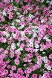 Petunias rosadas y blancas Imagen de archivo