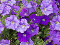 Petunias roxo Fotografia de Stock Royalty Free