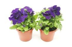 Petunias roxo Fotografia de Stock