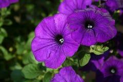 Petunias roxo escuro Fotografia de Stock Royalty Free