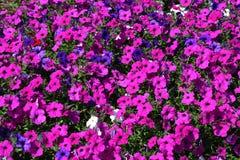 Petunias Stock Photos