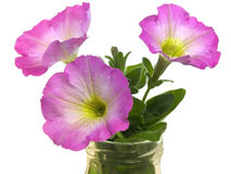 Petunias spring flowers springtime blossoms Stock Photos