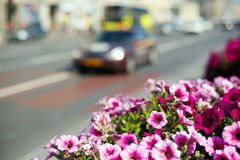 Petunias in street flowerbed Royalty Free Stock Images