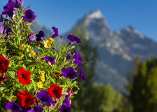 Petunias in the Tetons Stock Photos