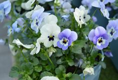 The petunias of the violet hue stock images