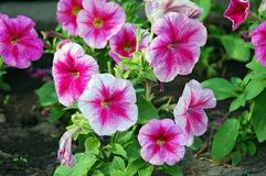 Petunias violetas Imagenes de archivo