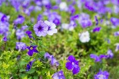 Petunias violetas y púrpuras en un jardín Fotos de archivo