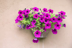 Petunias on the wall. Pink petunias on the wall Stock Photo