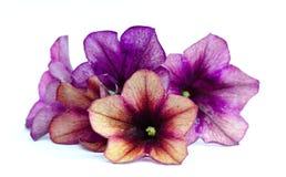 petunias Royalty Free Stock Photo