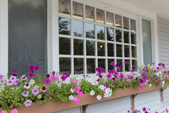 Petunias in window box. Beautiful colorful petunias in a window box with multi pane window Royalty Free Stock Photo
