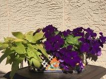 Petunias y planta de patata Fotos de archivo libres de regalías