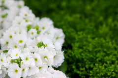 Petunias, Yellow daffodil,pansies, snapdragon and marigold, beautiful flower green grass background black white Stock Images