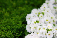 Petunias, Yellow daffodil,pansies, snapdragon and marigold, beautiful flower green grass background black white Royalty Free Stock Photo