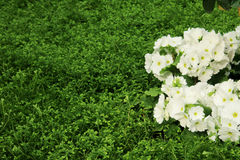 Petunias, Yellow daffodil,pansies, snapdragon and marigold, beautiful flower green grass background black white Royalty Free Stock Image