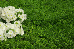 Petunias, Yellow daffodil,pansies, snapdragon and marigold, beautiful flower green grass background black white Royalty Free Stock Photography