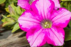 Petuniatuin Royalty-vrije Stock Fotografie