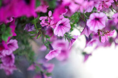 Petunie-Blumen Stockbilder