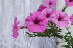 Petunie, die mit rosa Blumen blüht Stockfotos