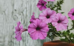Petunie, die mit rosa Blumen blüht Lizenzfreie Stockbilder