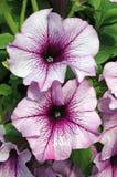 Petunie Grandiflora'Sugar Daddy' lizenzfreie stockfotografie