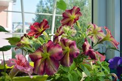 Petunie - jeden najwięcej popularnych lato rośliien, kwitnący przez cały lata obrazy royalty free