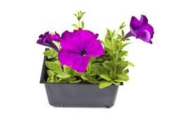 petunie purpurowe Obrazy Royalty Free