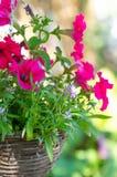 Petunie rosa in vasi d'attaccatura Vasi di vimini del vimine per decorare il giardino immagine stock