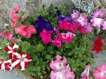 Petunie-Vase stockfotografie