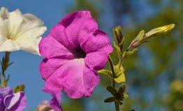 Petunien-Blume Lizenzfreie Stockfotografie