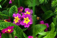 Petunien-Blume Weiße Blumen der Kirsche und der roten Tulpen Lizenzfreie Stockbilder