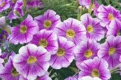 Petunienblüten Lizenzfreie Stockfotos