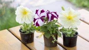 Petunienblume in einem kleinen Plastikbehälter auf einer hölzernen Planke Lizenzfreies Stockfoto
