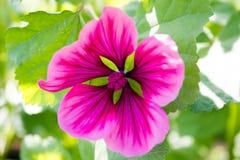 Petunienblumen Stockbilder