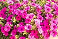Petunienblumen Lizenzfreie Stockfotos