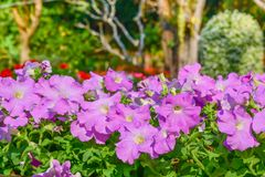 Petunienblumen Lizenzfreies Stockbild