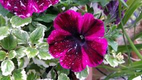Petunienblumen Stockfoto