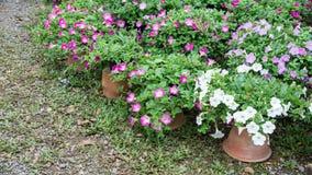 Petunienblumen Stockfotografie