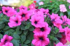 Petunienblumen stockfotos