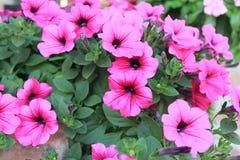 Petunienblumen Lizenzfreies Stockfoto