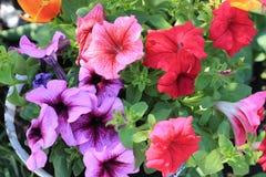 Petunienblumen Blumenhintergrund der Blume Garden lizenzfreie stockbilder