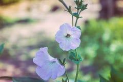 Petunienblumen- und -gartenvegetation lizenzfreie stockbilder