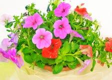 Petunior blommar i blomkruka Arkivbilder