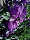 Ένα λουλούδι αποκαλούμενο Petushki στοκ φωτογραφίες